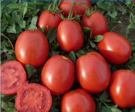 pomodori-tc330-fonte-lamboseeds