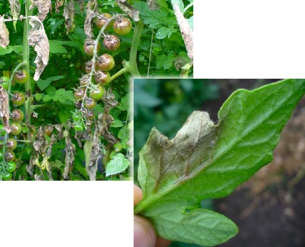 Difesa integrata del pomodoro e del peperone in coltura for Malattie pomodoro