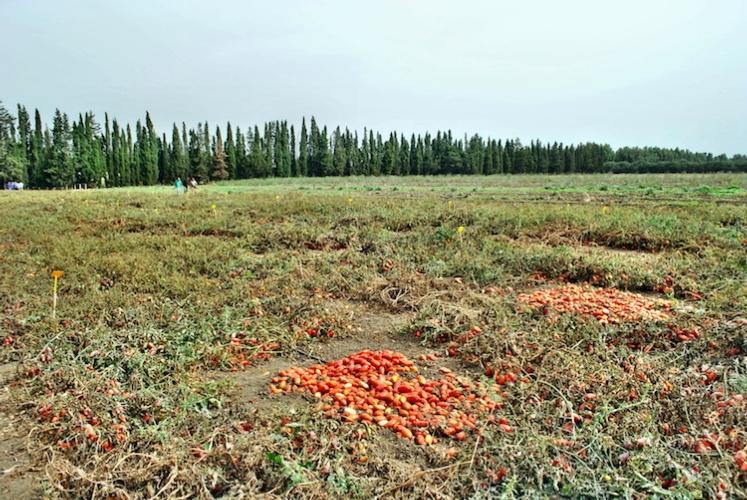 pomodoro-da-industria-pomodori-by-murasal-fotolia-750.jpeg