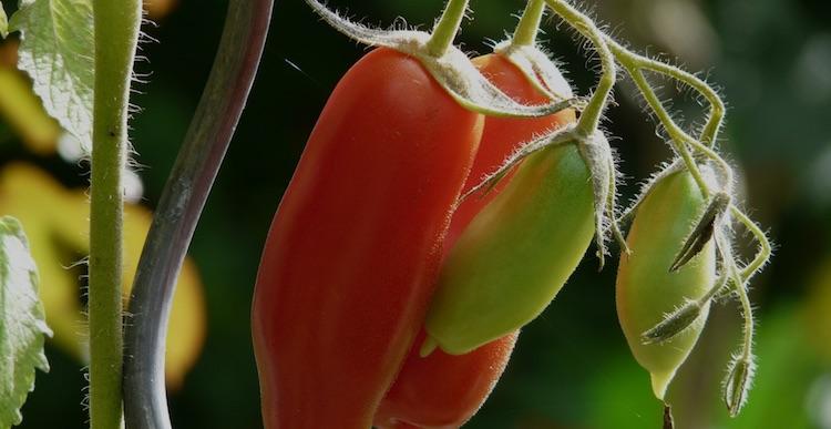 pomodoro-fonte-belchim-20190624