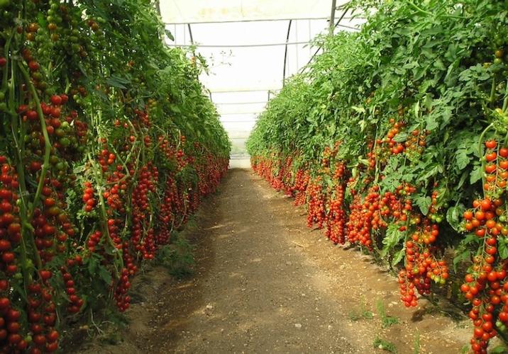 pomodoro-in-serra-fonte-belchim