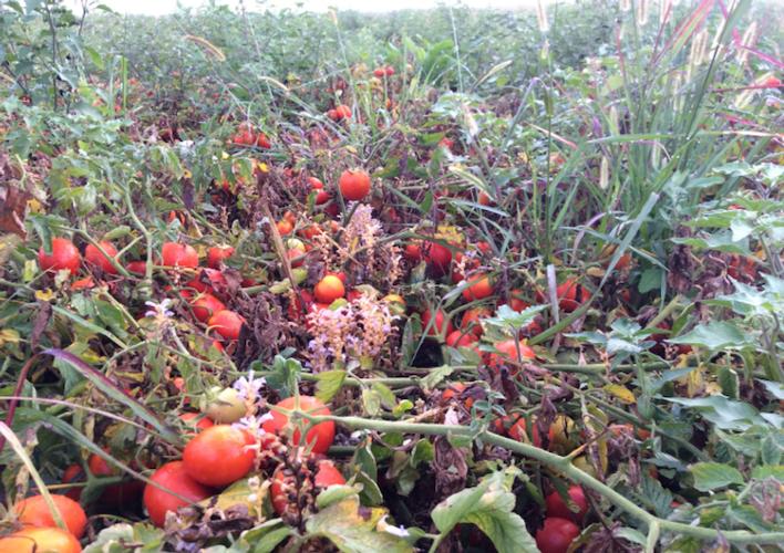 pomodoro-orobanche-ramosa-infestante-parassita-fonte-lea