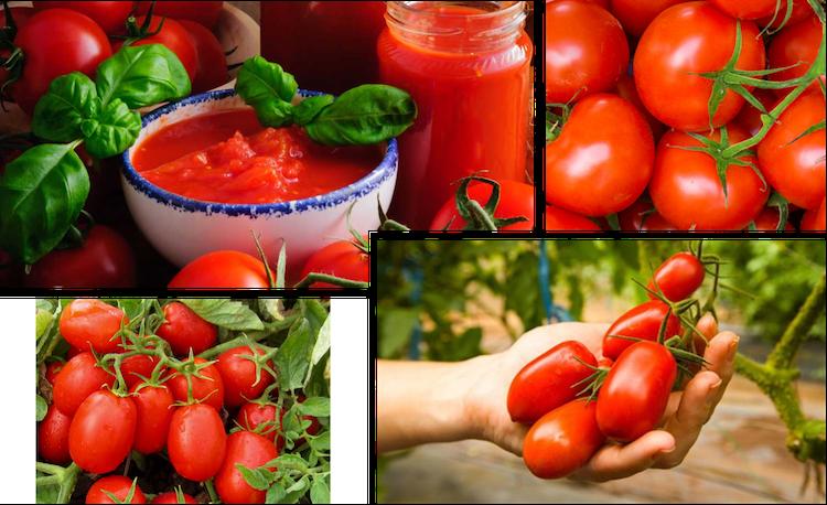 Pomodoro: migliorare produzioni e qualità? Con Unimer si può - le news di Fertilgest sui fertilizzanti