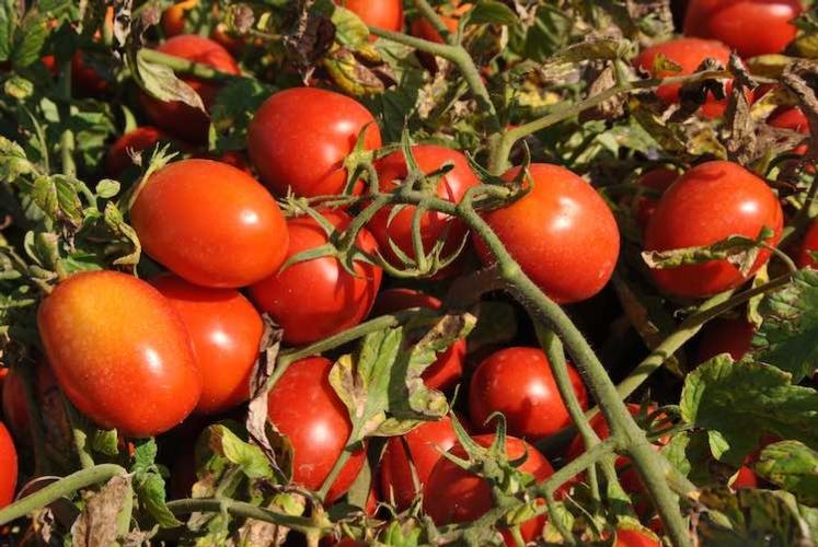 pomodoro-pomodori-mar-2020-fonte-oi-pomodoro-nord-italia