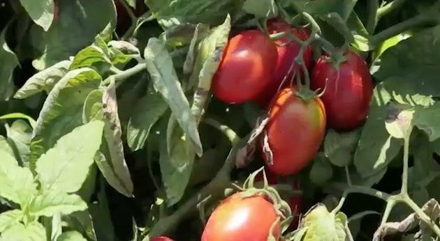 pomodoro-pomorete-fonte-barbara-righini-agronotizie