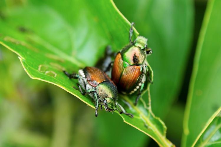 Popillia japonica, ecco un nuovo organismo alieno - Plantgest news sulle varietà di piante