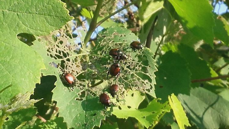 popillia-japonica-su-vite-lug-2020-fonte-giovanni-bosio-fitosanitario-piemonte