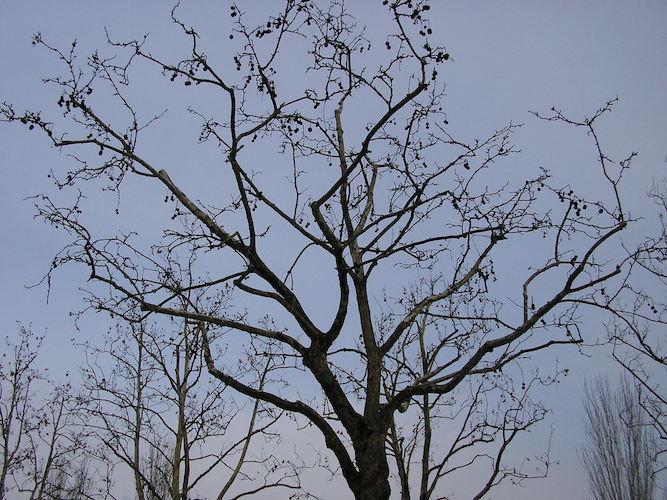 potatura-platano-con-taglio-di-ritorno-fonte-alfonso-paltrinieri-associazione-pubblici-giardini-20210324-667x500.jpeg