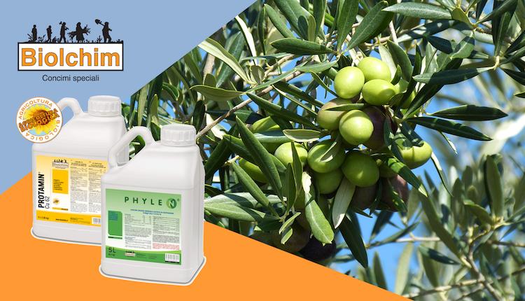 Olivo: come ridurre la cascola e aumentare la resa - le news di Fertilgest sui fertilizzanti