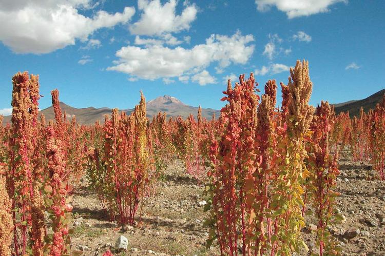 quinoa-in-bolivia-secondo-art-giu-2020-rosato-fonte-maughan