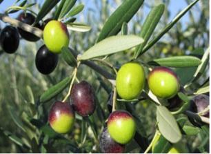 raccolta-continuo-olive-giornata-.jpg