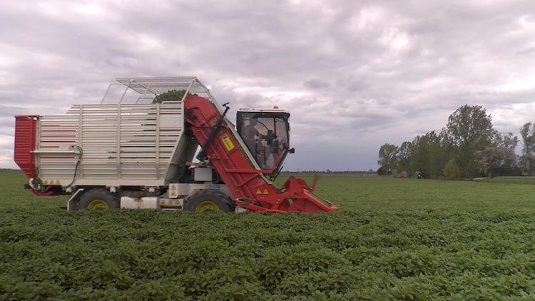 raccolta-melissa-officinalis-nei-campi-agribioenergia-a-medicina-bo-giu-2021-fonte-fermo-immagine-video-barbara-righini
