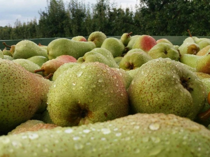 raccolta-pere-fonte-patfrut.jpg