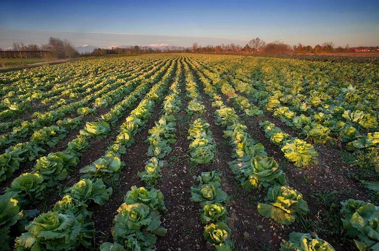 radicchio-castelfranco-variegato-igp-fonte-consorzio-tutela-radicchio-rosso-di-treviso-igp-e-radicchio-variegato-di-castelfranco-igp