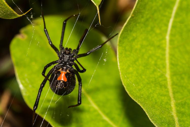 ragno-ragni-insetto-insetti-vedova-nera-by-ondreicka-fotolia-750.jpeg
