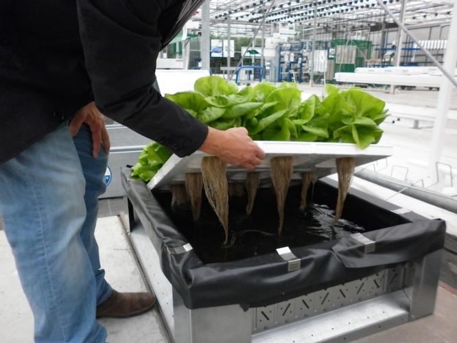 resfood-demokwekerij-soilless-lettuce-crop