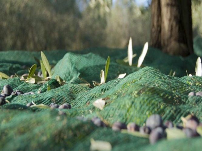 reti-olive-raccolta-by-arsial-jpg