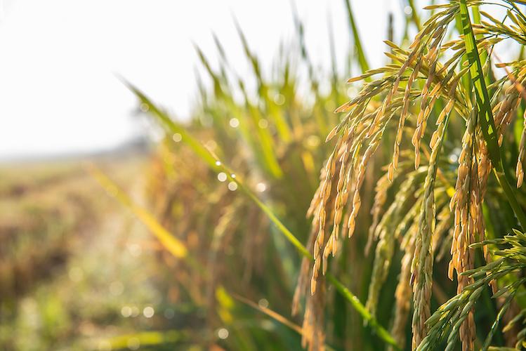 Riso, prevista una produzione in calo ma di qualità - Plantgest news sulle varietà di piante