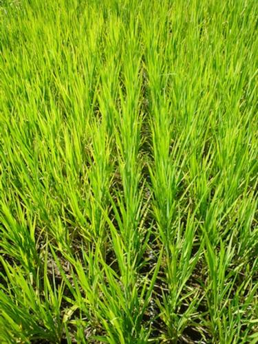 riso-goccia-veduta-fonte-netafim1