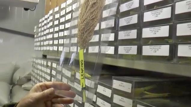 riso-varieta-lencino-piu-antica-di-italia-centro-ricerche-riso-castello-d-agogna-fonte-barbara-righini-agronotizie