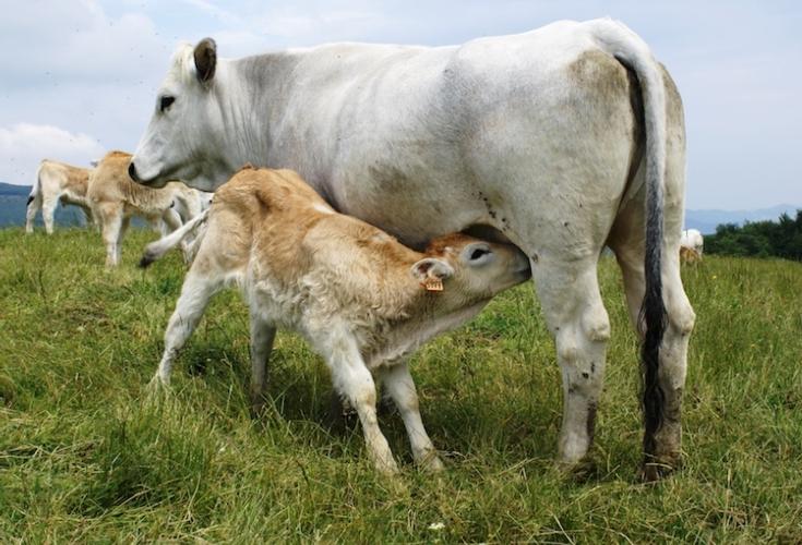 romagnola-linea-vacca-vitello-fonte-allevatori-top