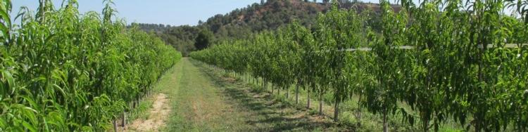 Agromillora ricerca e innovazione per un continuo for Alberi da frutto prezzi