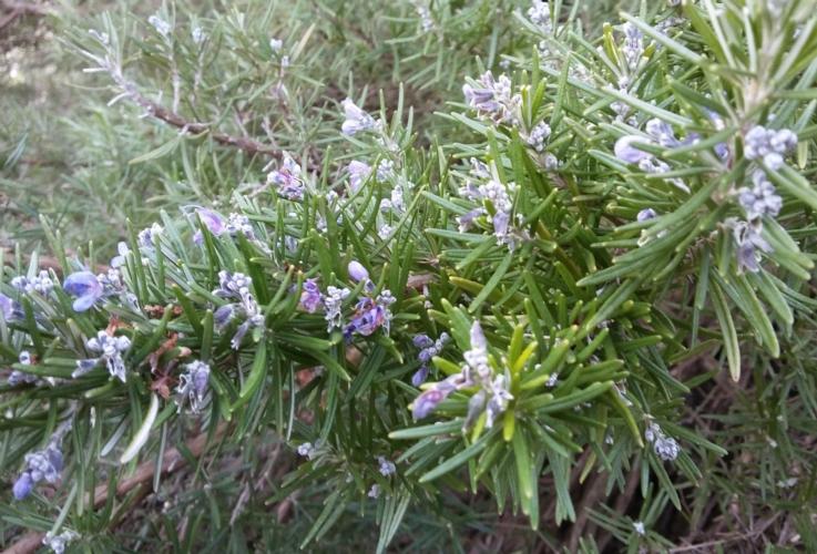 Aromatiche, la filiera laziale in espansione - Plantgest news sulle varietà di piante