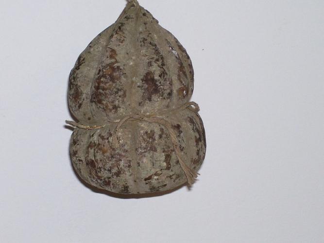 salamadasugo