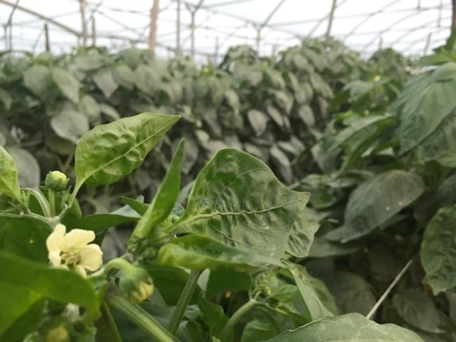 serre-coltura-protetta-fiore-peperone-battipaglia-by-cs-agronotizie-750