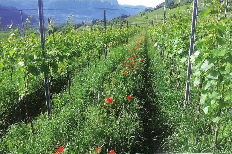 Il sovescio come tecnica per gestire la vigoria della vite - Plantgest news sulle varietà di piante