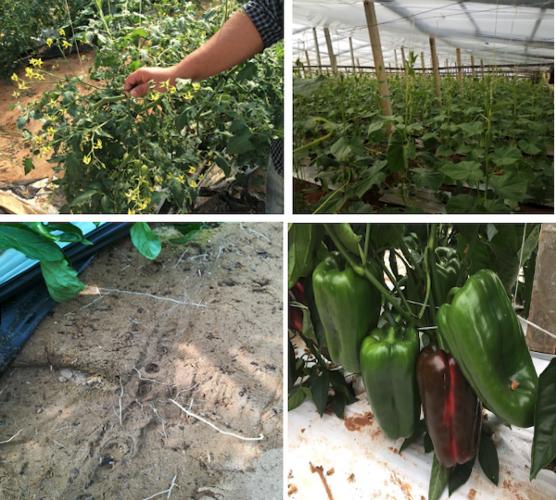 sprint-veg-rapido-vegetale-fonte-lea-agricoltura.png