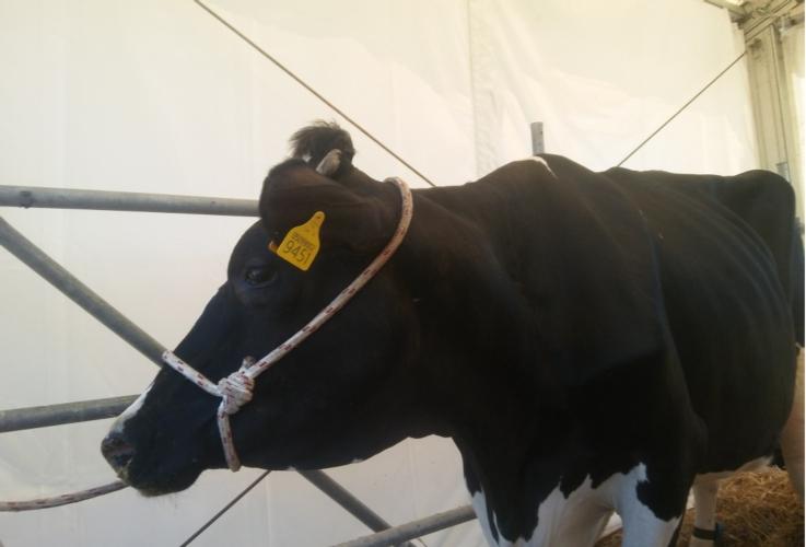 stalla-vacca-latte-bovini-frisona-by-matteo-giusti-agronotizie-jpg