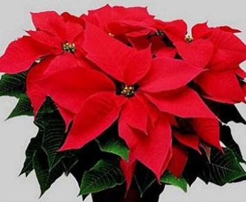 Stella Di Natale In Casa.Stella Di Natale Dalle Origini Alla Nutrizione Agronotizie
