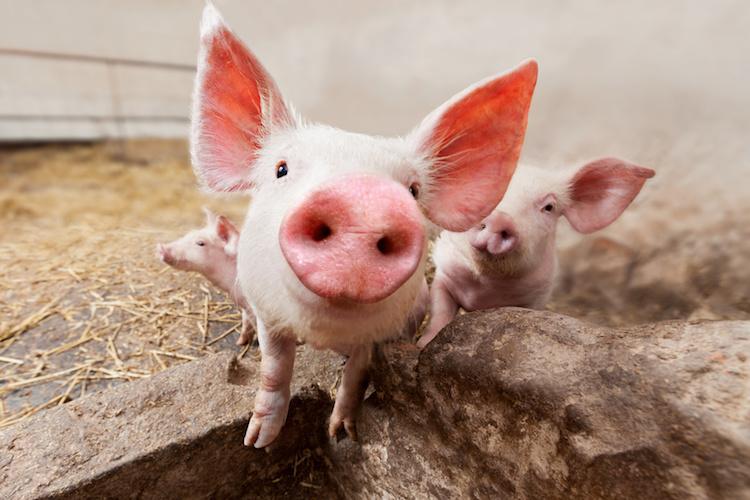 suini-suinetti-allevamento-benessere-animale-by-stramyk-igor-fotolia