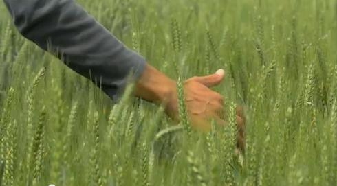 syngenta-cerealplus-2015-genetiche-frumento