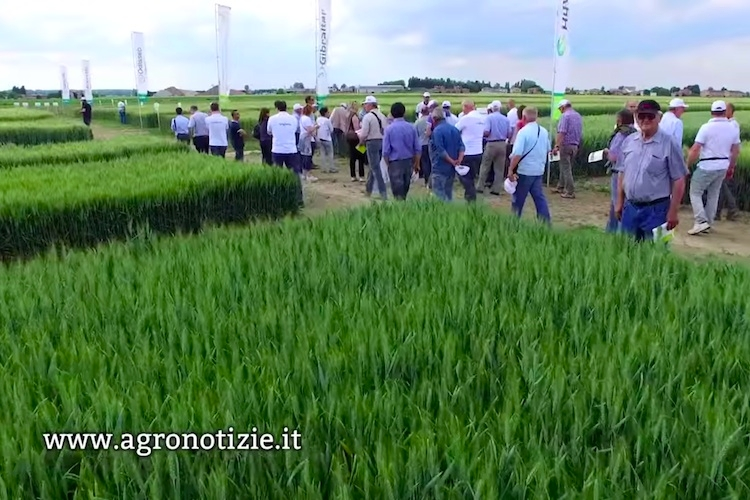 syngenta-in-campo-tenuta-la-pioppa-20-5-2015-cereali-by-video-vicini-agncs