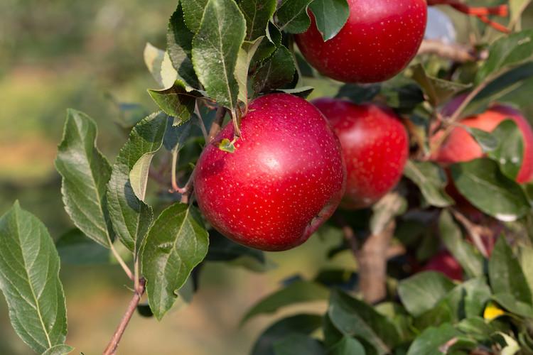 T-Rex<sup>®</sup> CIV15 (PBR): la nuova mela proposta da Salvi Vivai - Plantgest news sulle varietà di piante