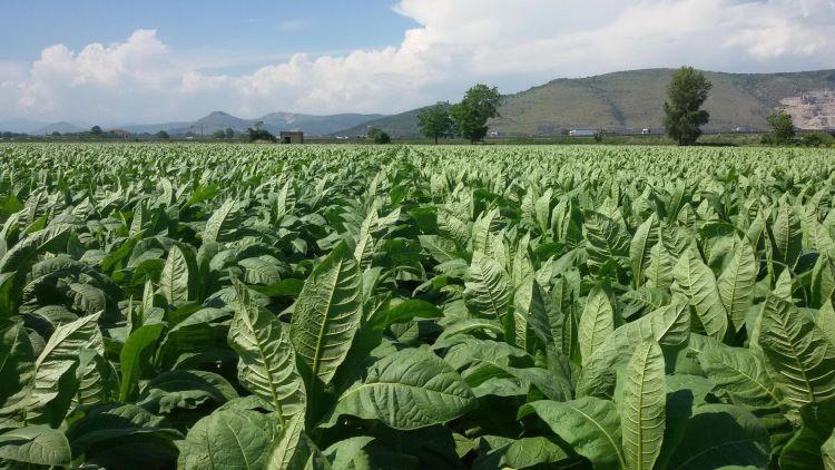 tabacco-burley-in-campo-03-dic-2020-confagricoltura-campania.jpg