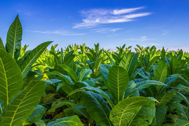 Tabacco, made in Italy da tradizione - Plantgest news sulle varietà di piante