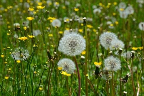 tarassaco-fiore-fiori-primavera-by-stefano-gasparotto-fotolia-750.jpeg