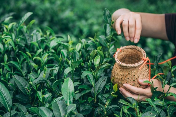 Coltivare il tè in Sardegna? Perché no - Plantgest news sulle varietà di piante