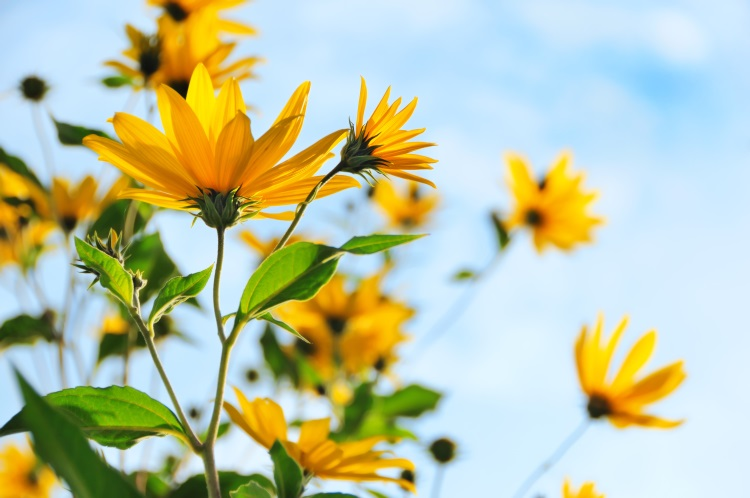 topinambur-fiori-by-mny-jhee-adobe-stock-750x498