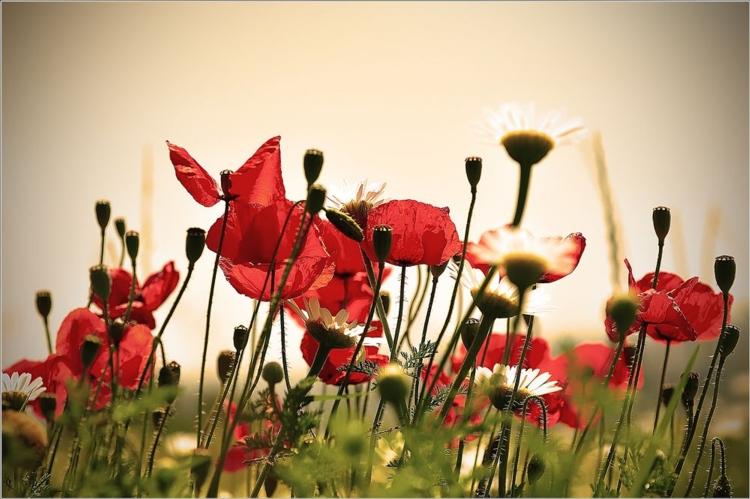 tramonto-inizio-estate-prato-papaveri-fiori-margherite-matteo-battaglia