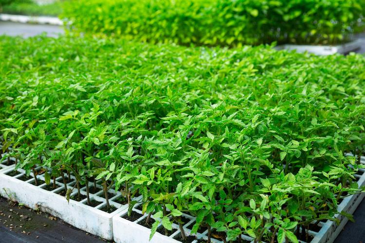 Trapianto orticole, come biostimolare l'apparato radicale - le news di Fertilgest sui fertilizzanti