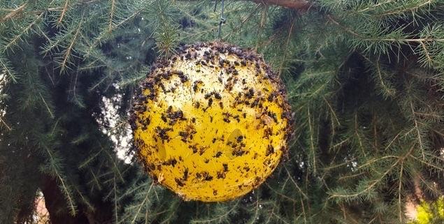 trappola-a-colla-per-insetti-sfera-trap-fonte-tap-trap