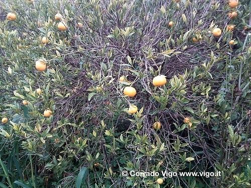 tristeza-degli-agrumi-corrado-vigo
