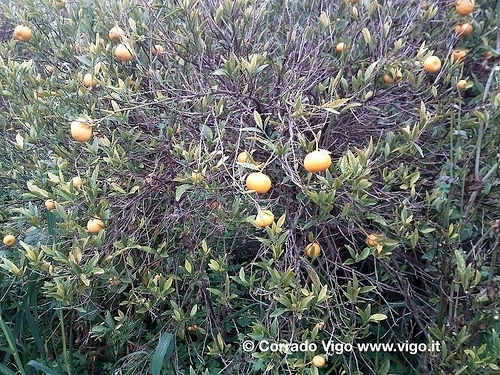 tristeza-degli-agrumi-corrado-vigo1