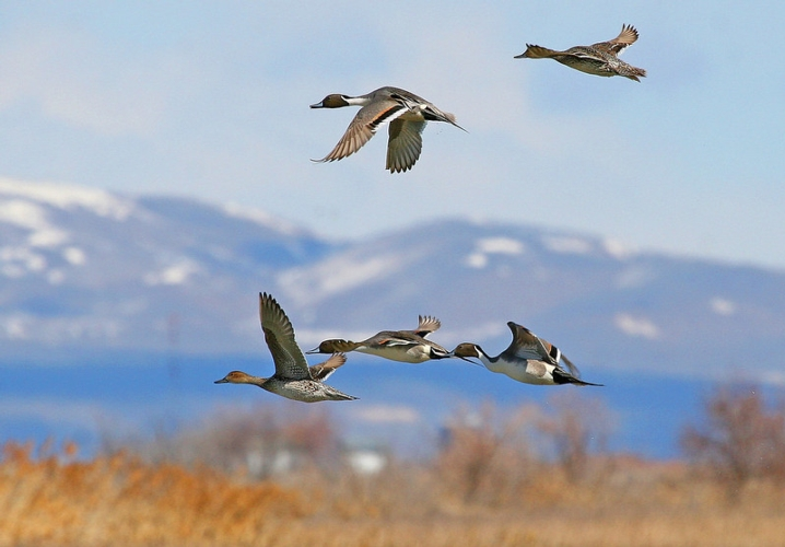 uccelli-migratori-us-fish-and-wildlife-service.jpg