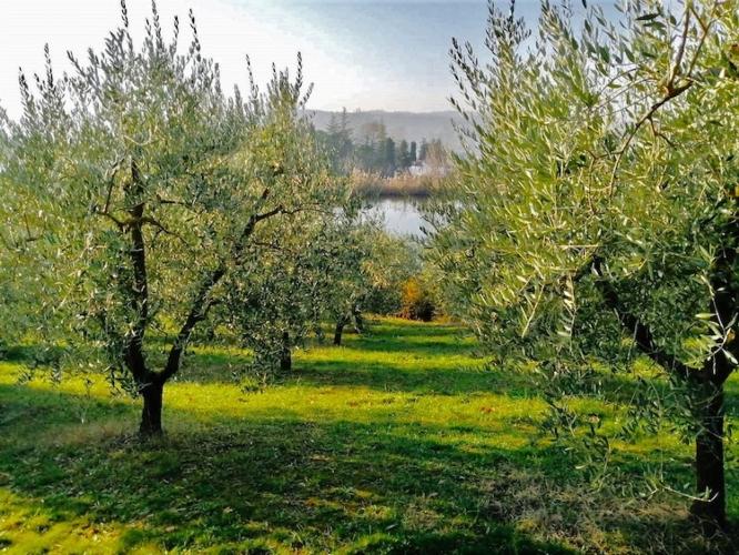 uliveto-olive-frantoio-valsanterno-imola-agosto-2021-fonte-frantoio-valsanterno