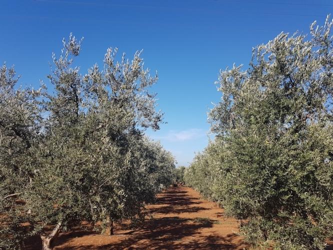 ulivi-fonte-nufarm